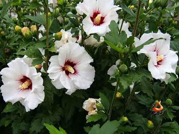 گل ختمی - گل ختمی بنفش(۵۰گرم)